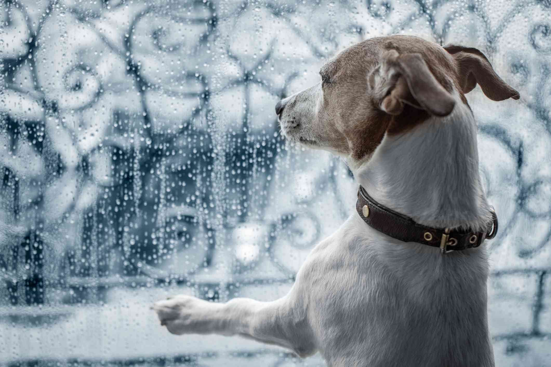 A Jack Russell terrier stares out of the window on a rainy day.