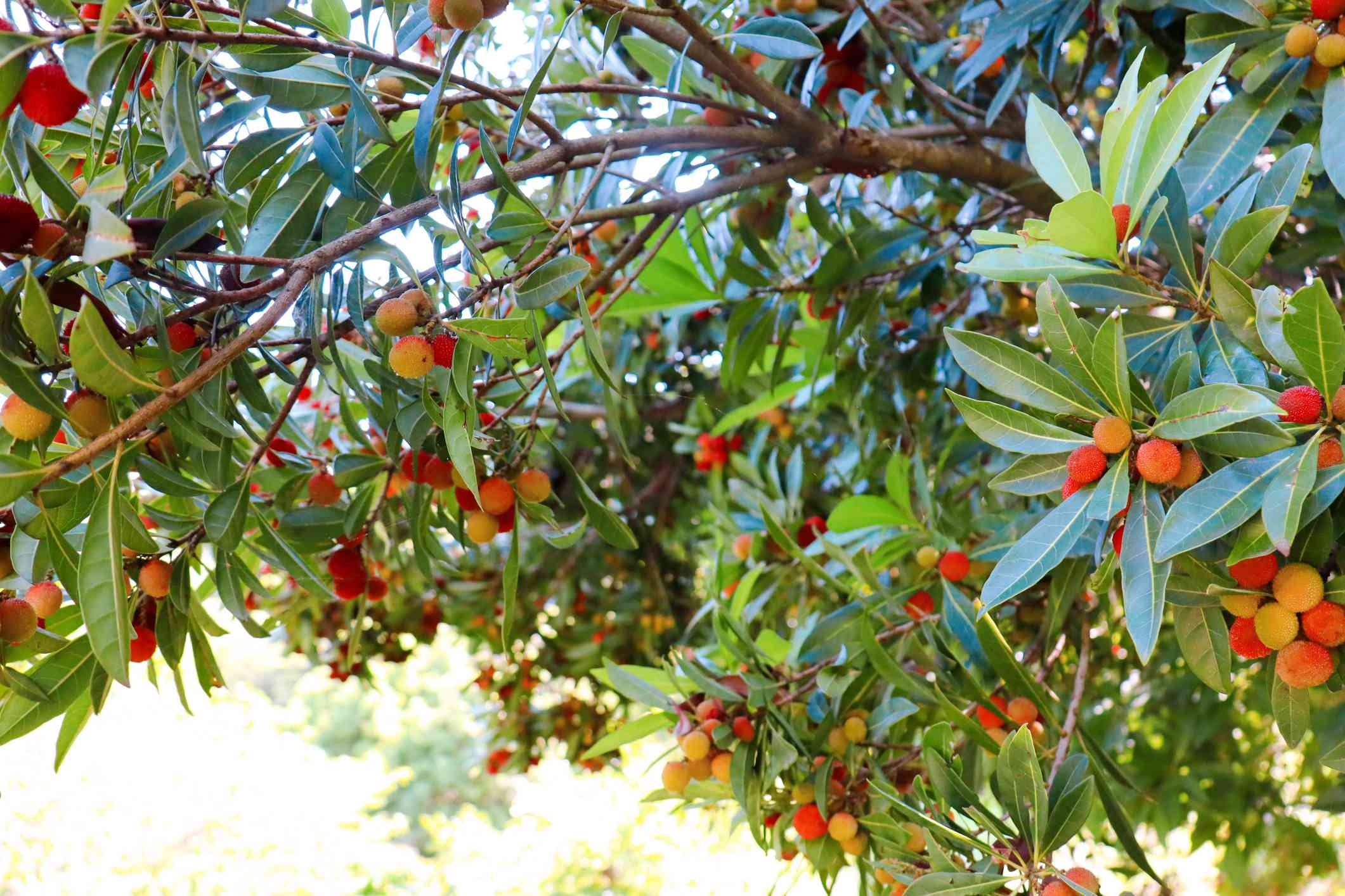 Wax myrtle with red and yellow fruits