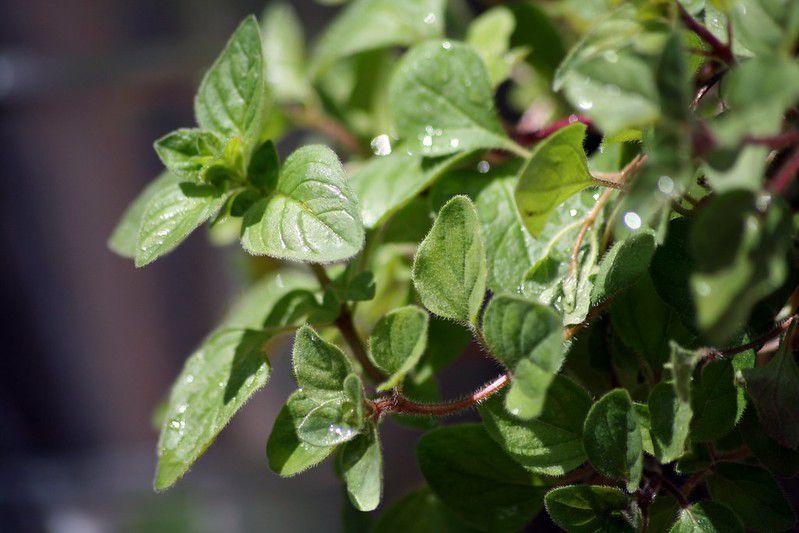 An oregano plant.