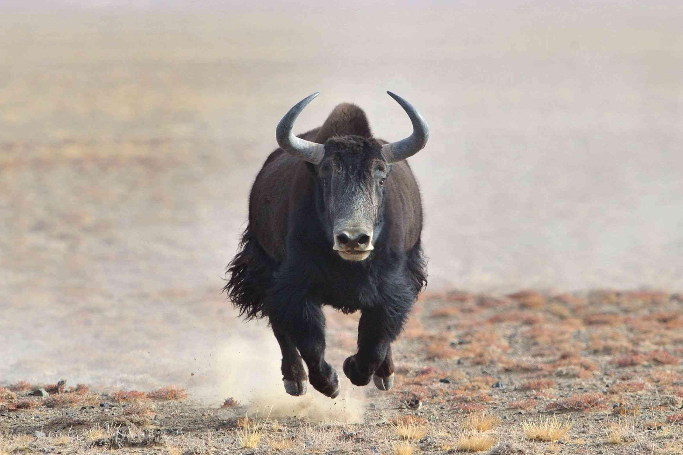 yak running