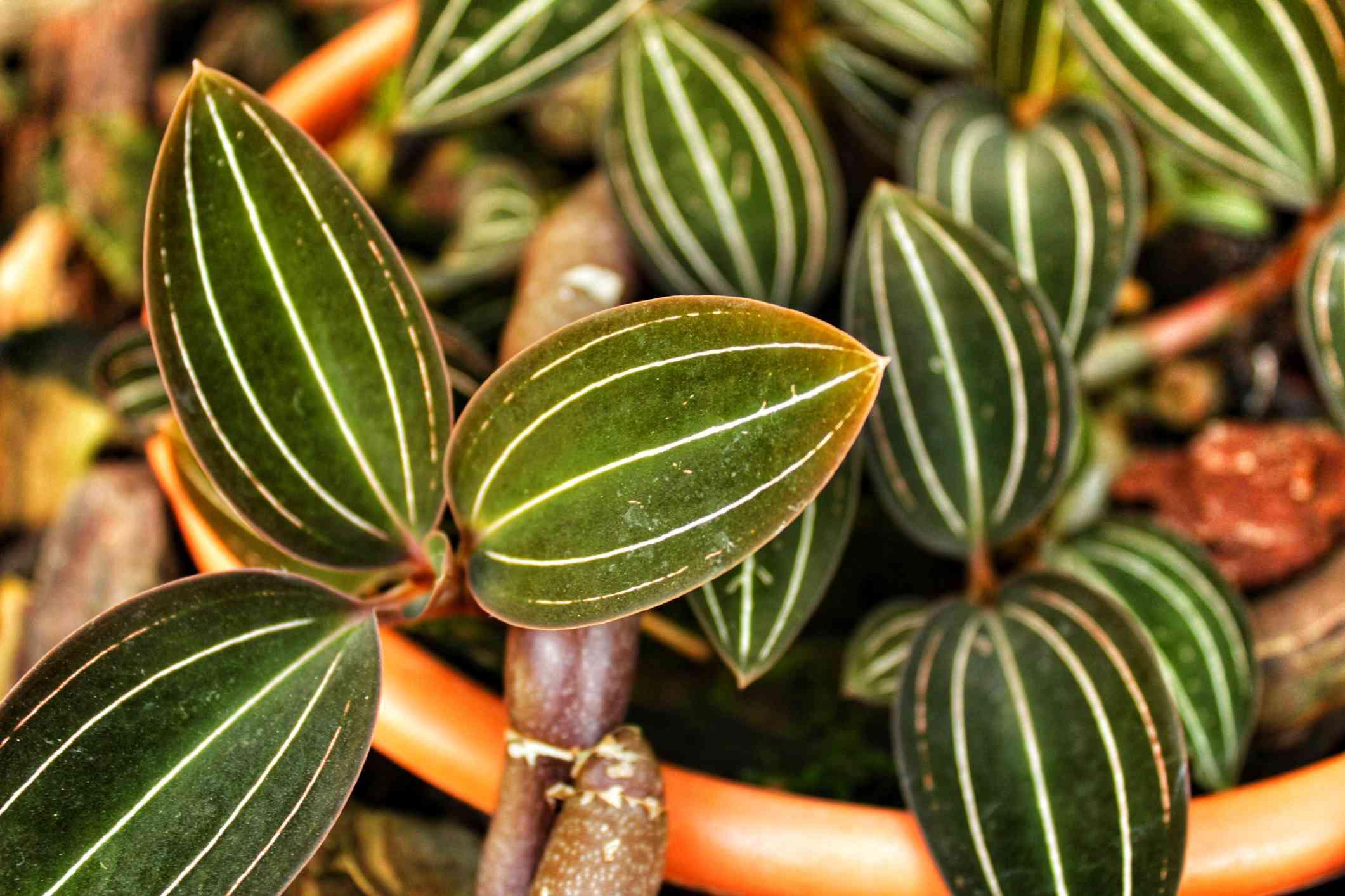 Jewel orchid (Ludisia discolor) in a pot