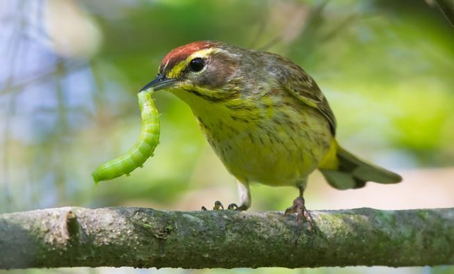 A palm warbler with a caterpillar in its beak