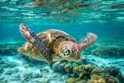 A green sea turtle swimming on the Great Barrier Reef.