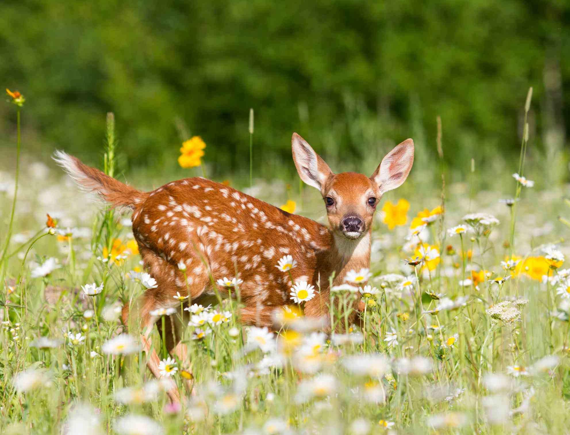 A young white-tailed deer fawn in a meadow