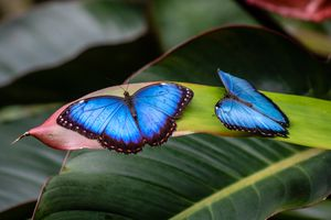 Two blue morpho butterflies resting on a green leaf