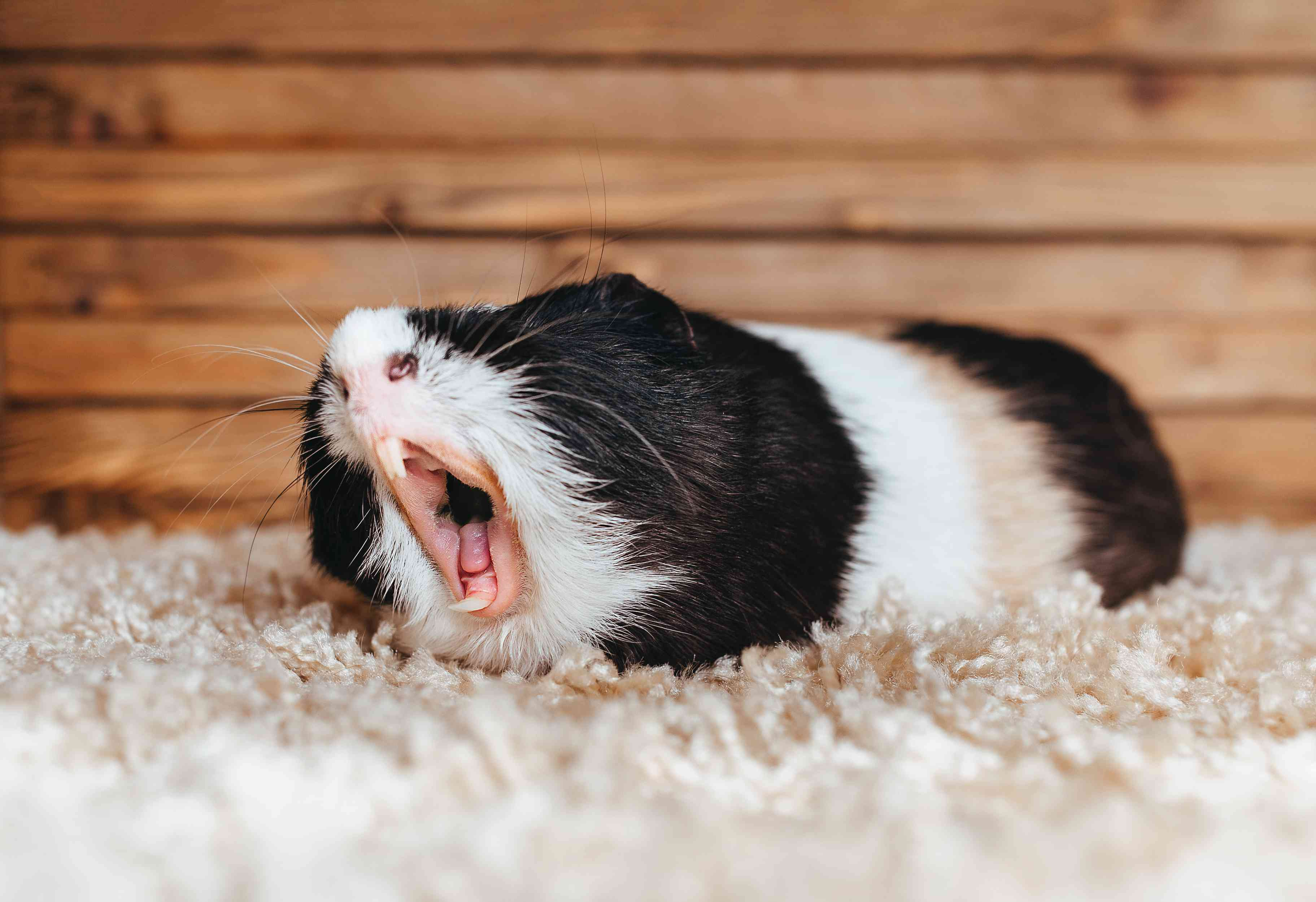 black and white guinea pig yawning and showing its long front teeth