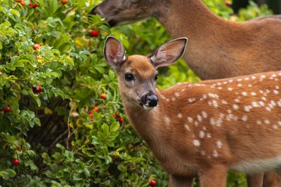 two white-tailed deer munch on green shrub with red flowers