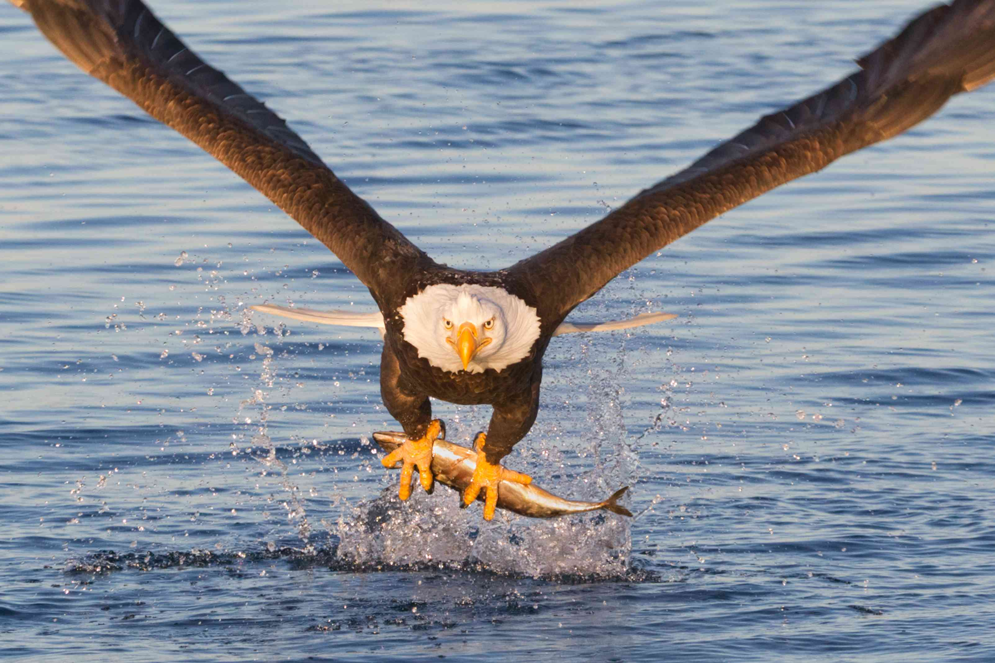 A bald eagle flies low over water with a fish in its talons.