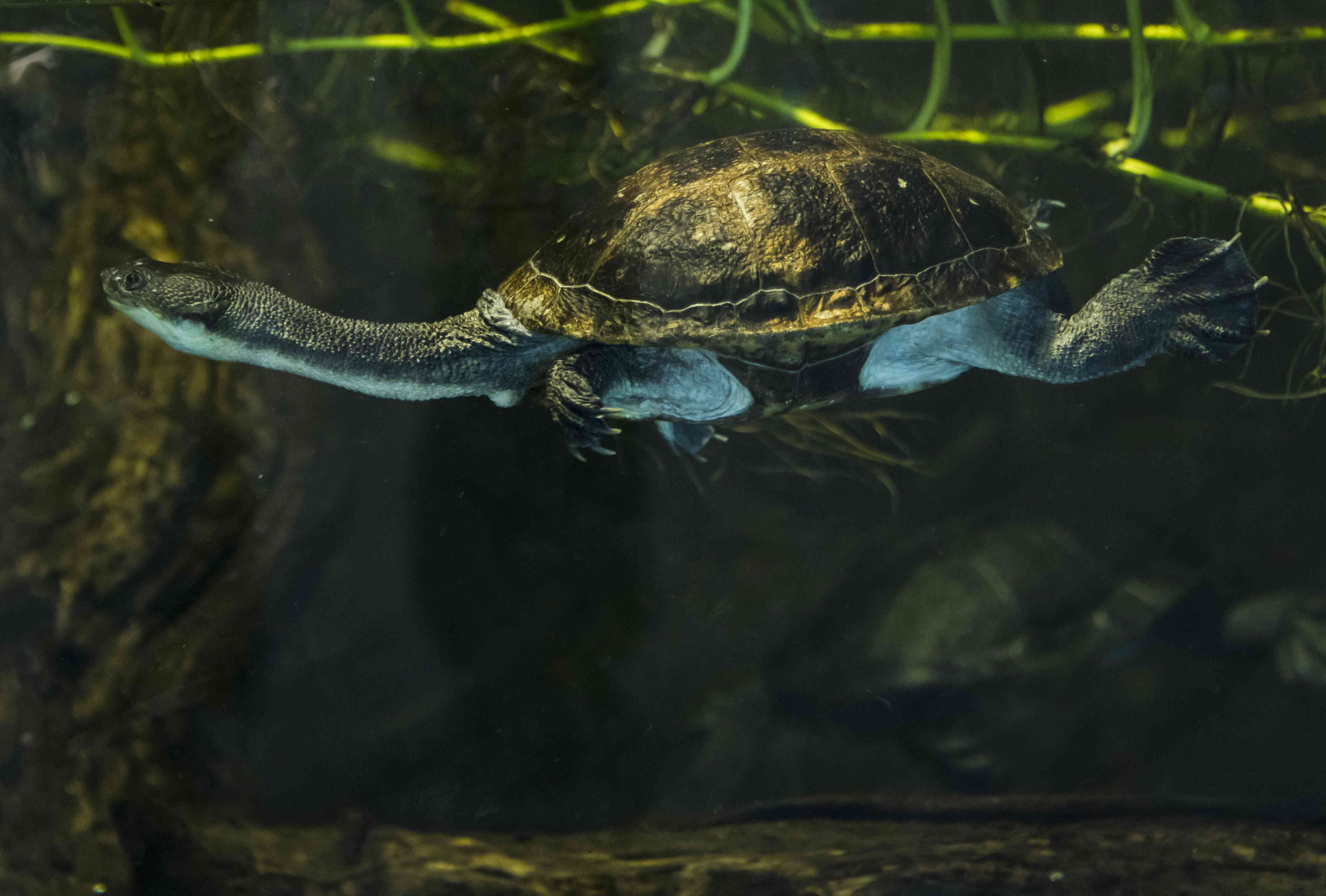 dark green Roti Island snake-necked turtle swimming in a lake