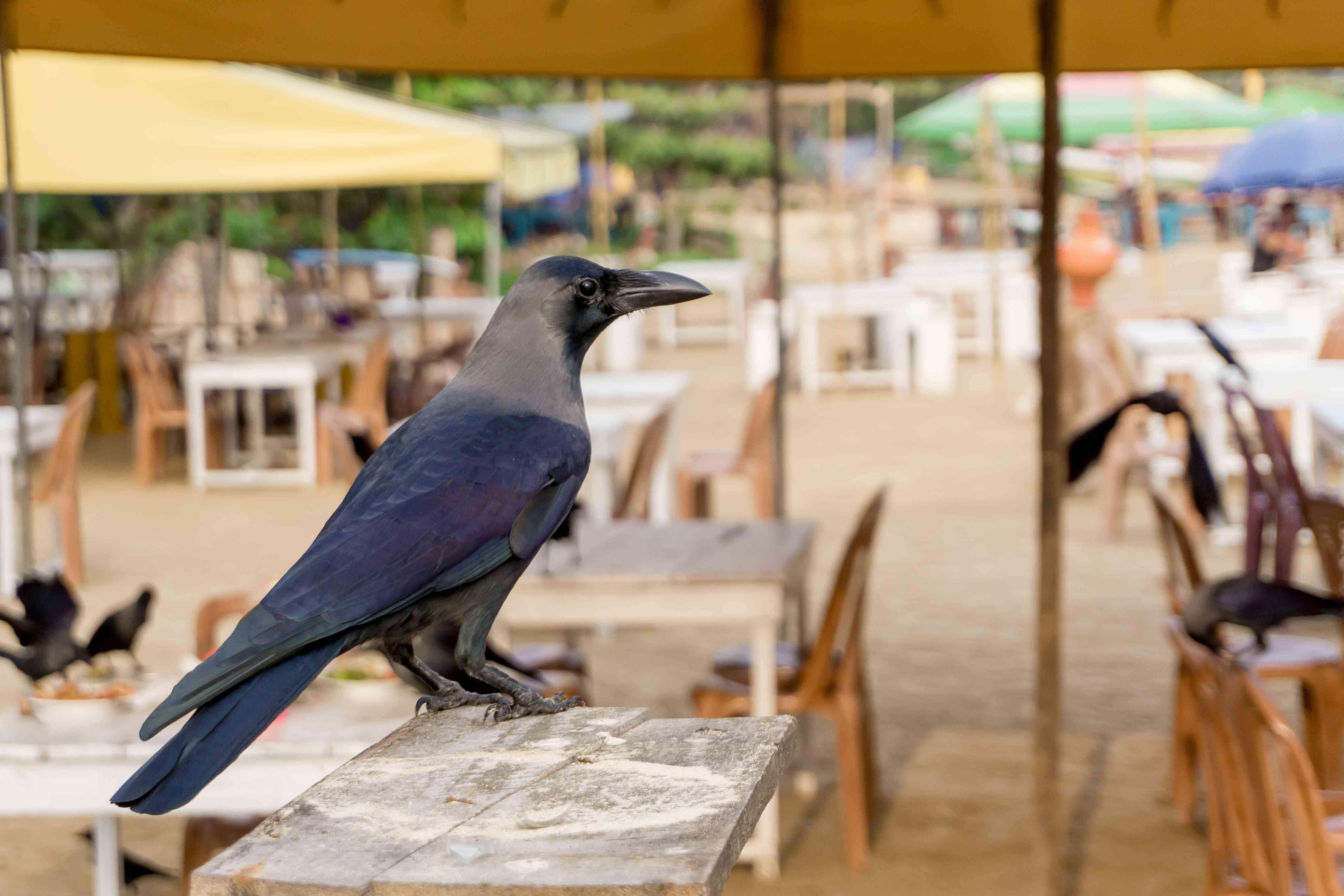 hooded crow surveys a restaurant patio for food