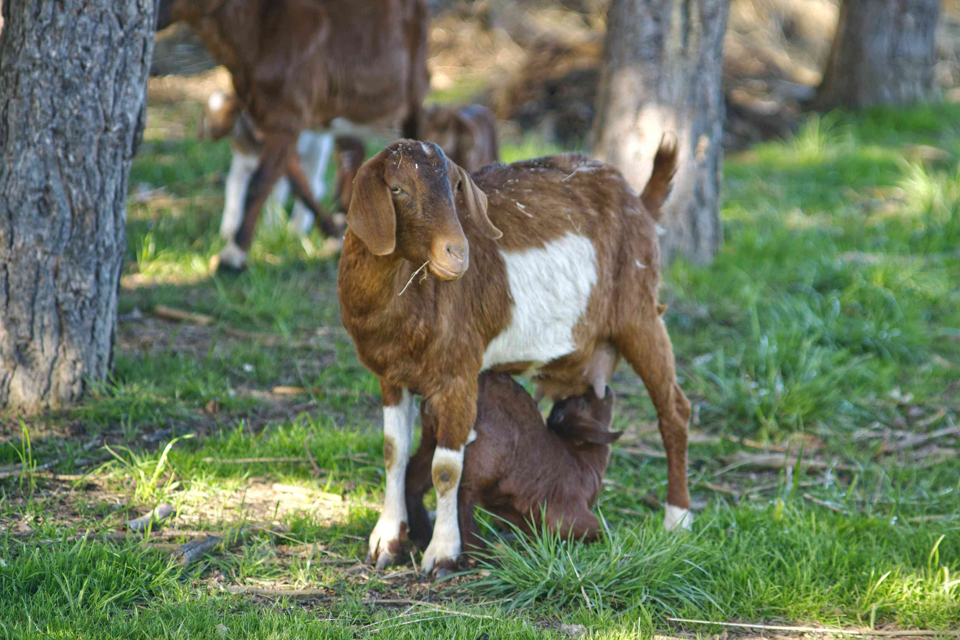 brown and white mamma goat feeds baby goat milk outside surrounded by trees