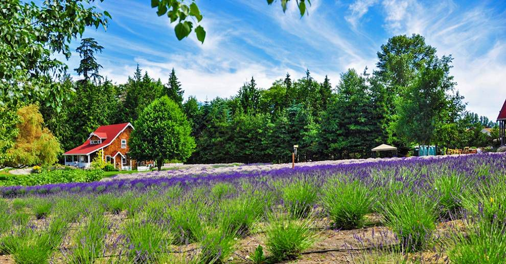Lavender Capital of North America: Sunny day at Purple Haze lavender farm