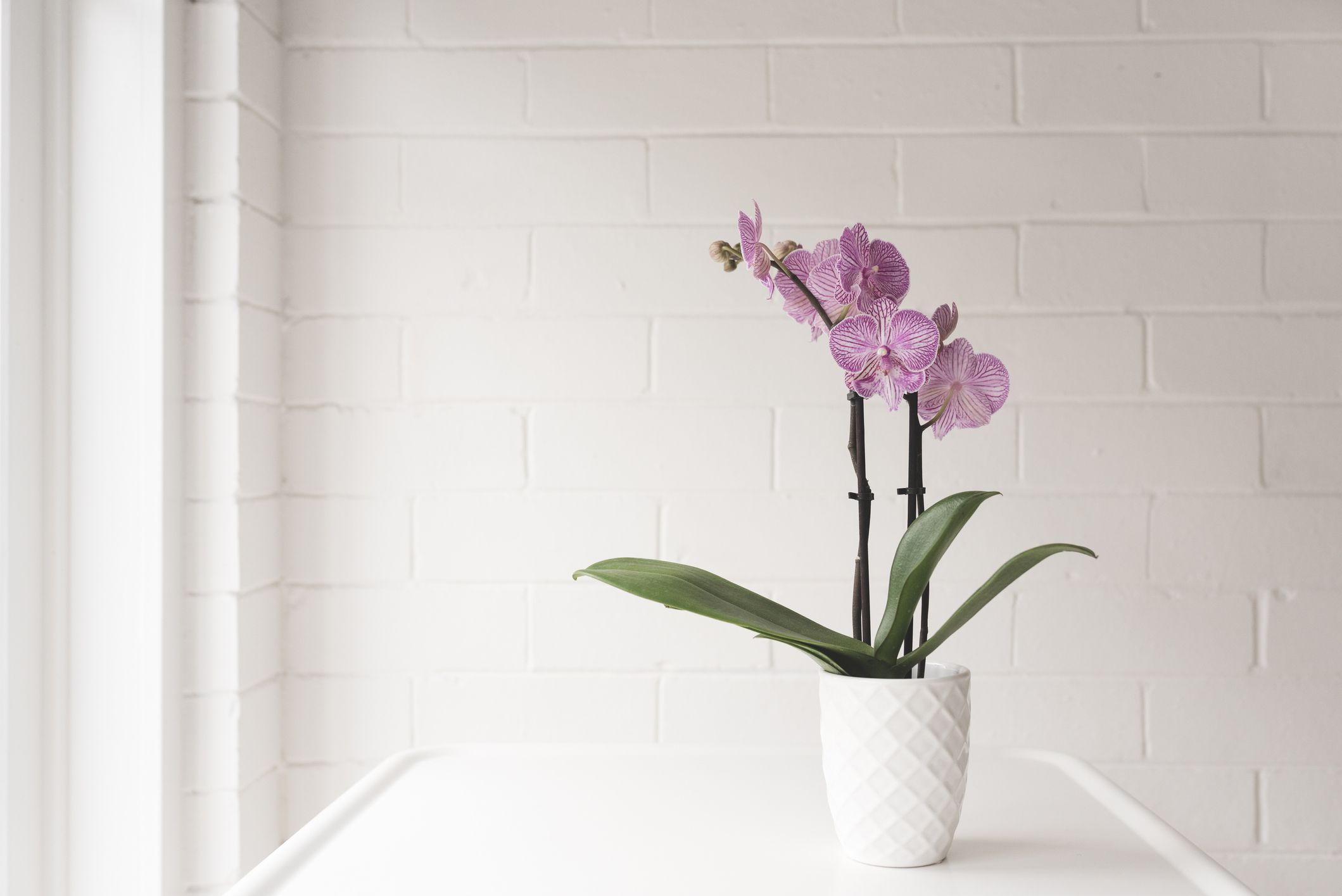 A pink orchid in a textured white pot