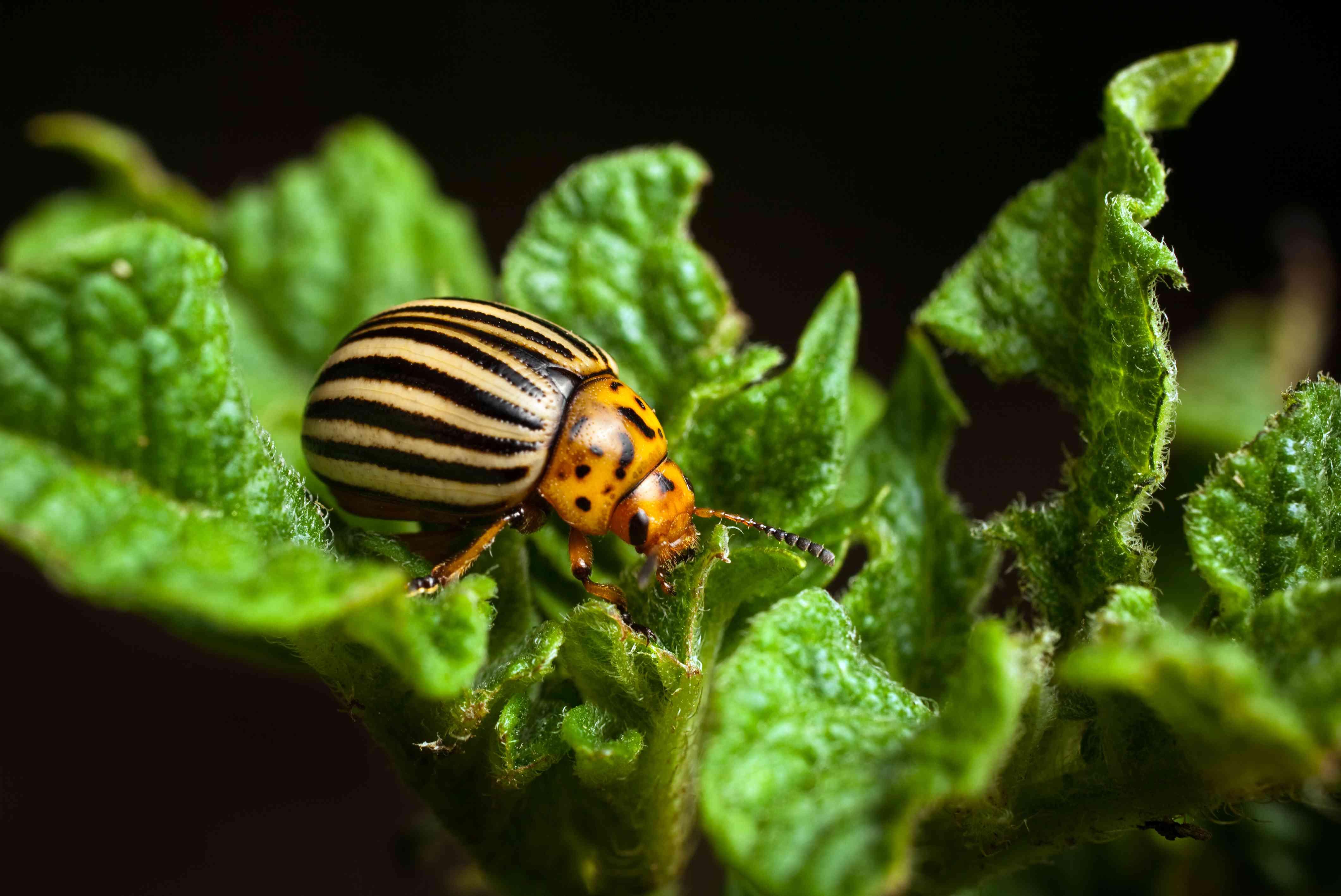 Colorado potato beetle eating potato leaves