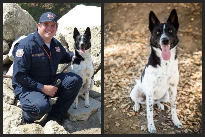 Perro considerado 'demasiado enérgico' para ser adoptado está ayudando a los rescatistas después del huracán Harvey