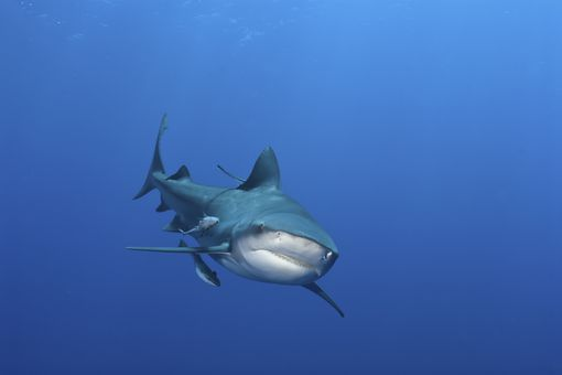 bull shark off the coast of Mozambique