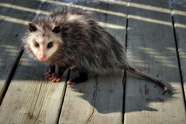 young possum with white face on wooden back patio stares intently