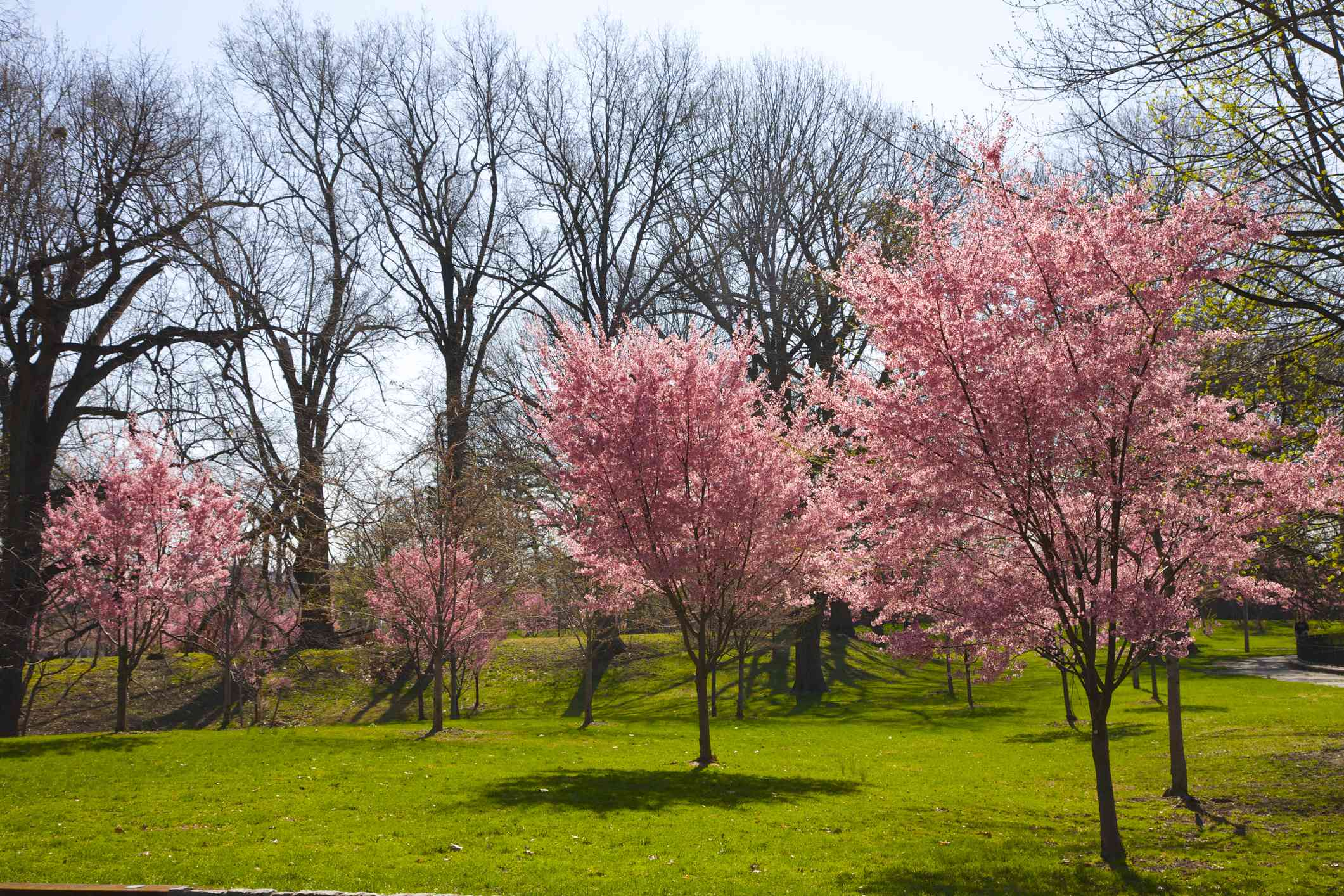 A group of 7 small cherry blossom trees in full pink bloom on a green grass lawn with tall trees with no leaves in the background at Branch Brook Park