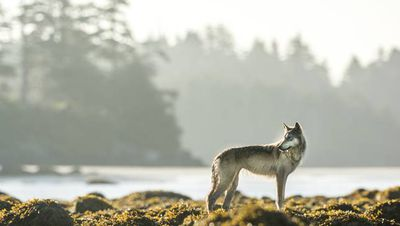 A wolf stands on some rocks in British Columbia