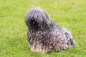Gray Hungarian puli dog sitting on grass at the park