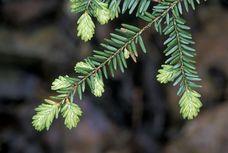 Bright green needles on a Spruce Tree.