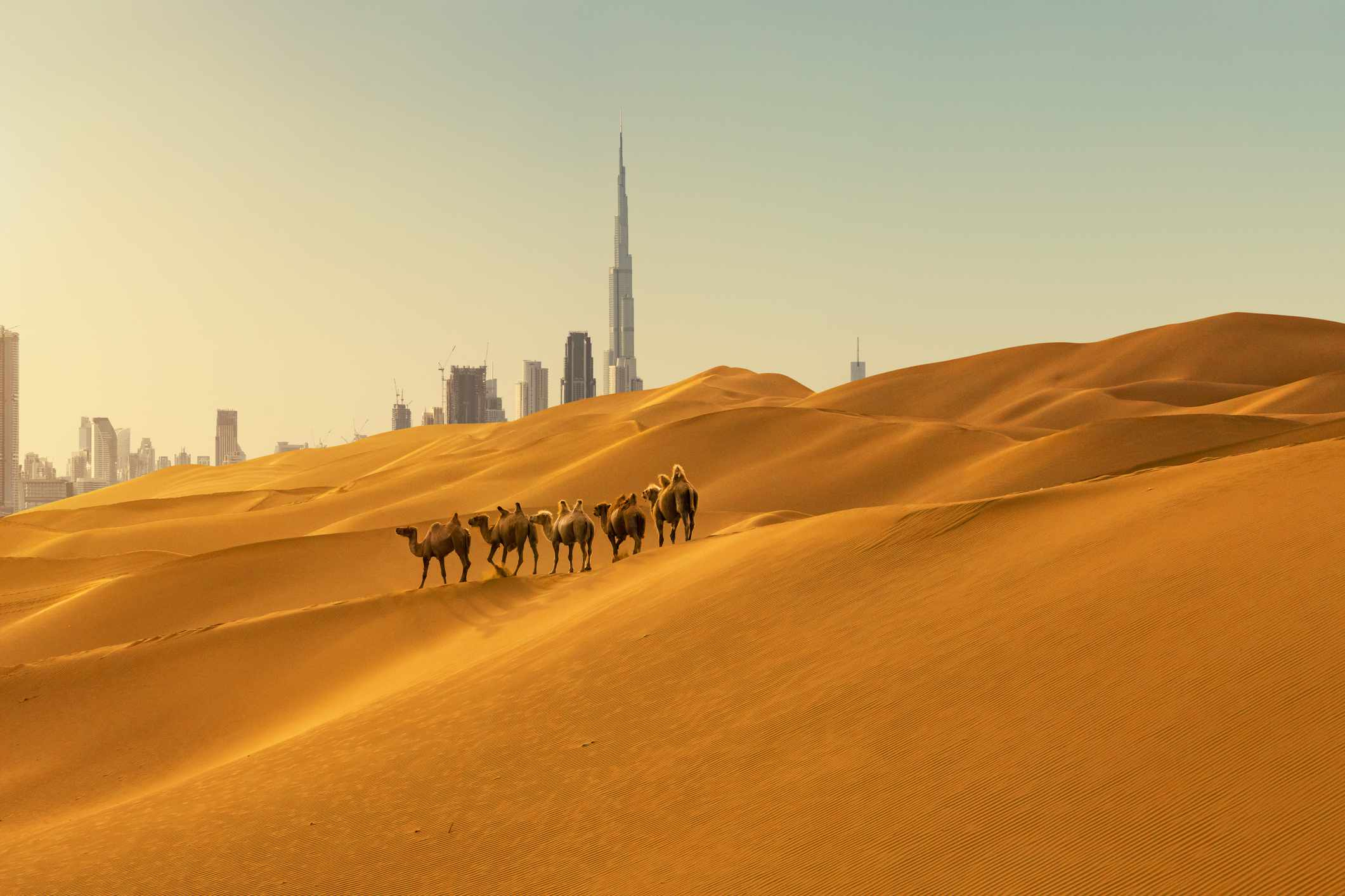 Camels in desert with business district in the background