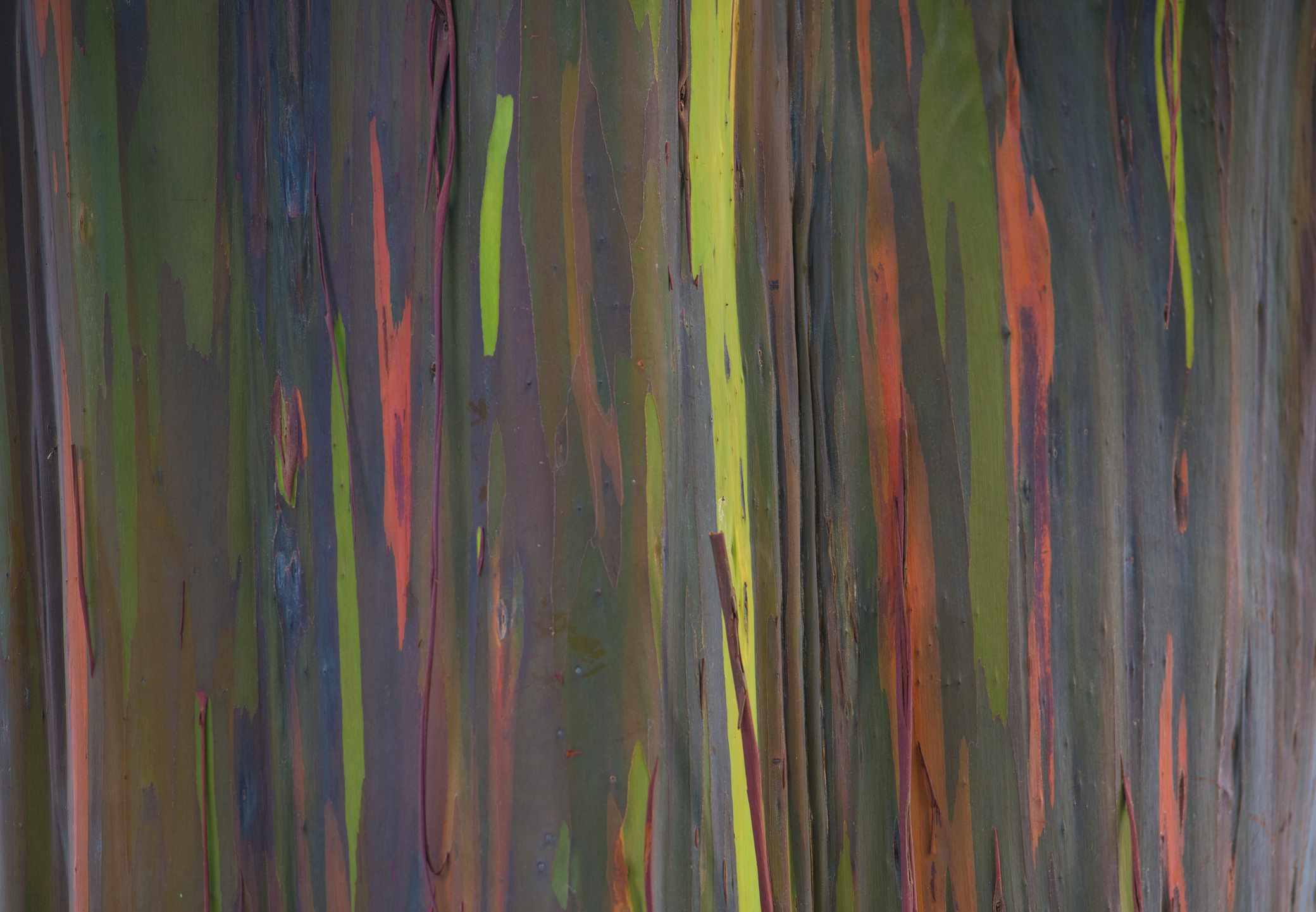Rainbow Eucalyptus tree pattern