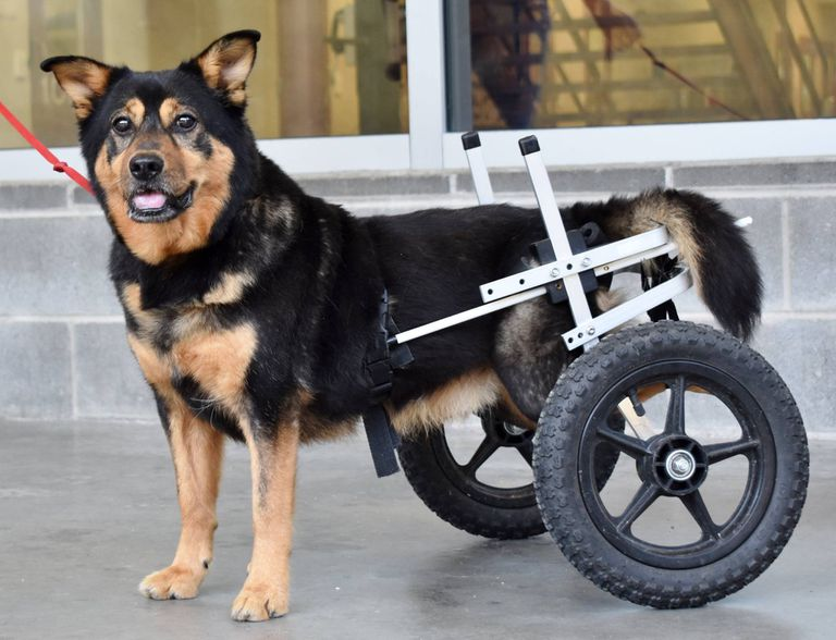 dog uses wheelchair to get around