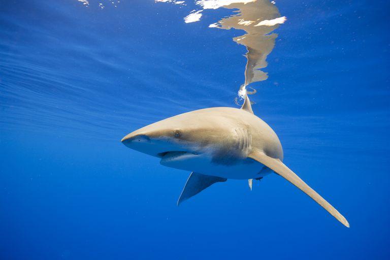 Underwater view of oceanic whitetip shark