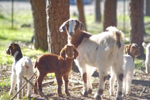 momma goat with three baby goats turns and looks back at camera in outdoor setting