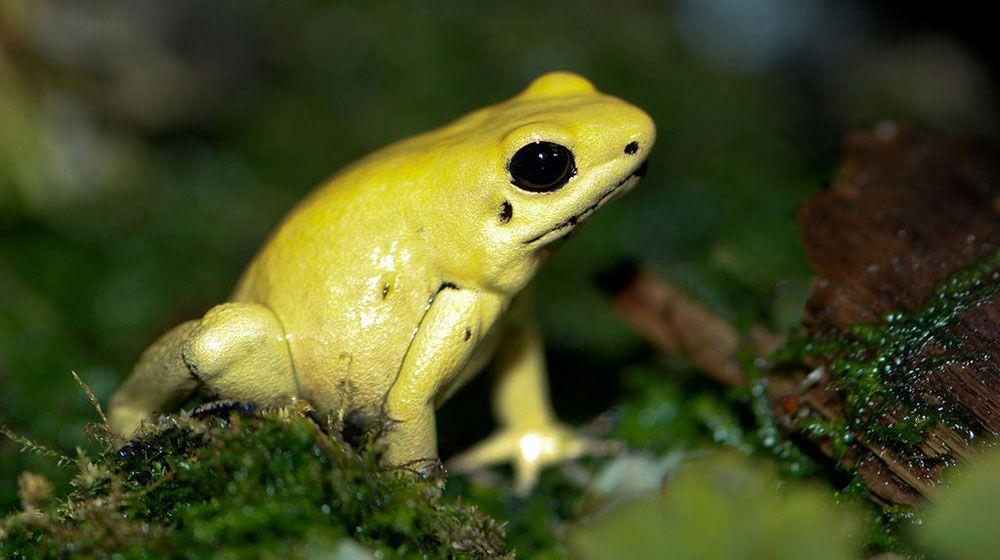 yellow gold golden poison dart frog sitting on moss