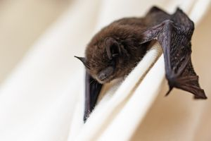 A bat with brown fur clings to a piece of white fabric with its wings