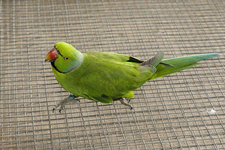 Close up of mascarene or Echo Parakeet.