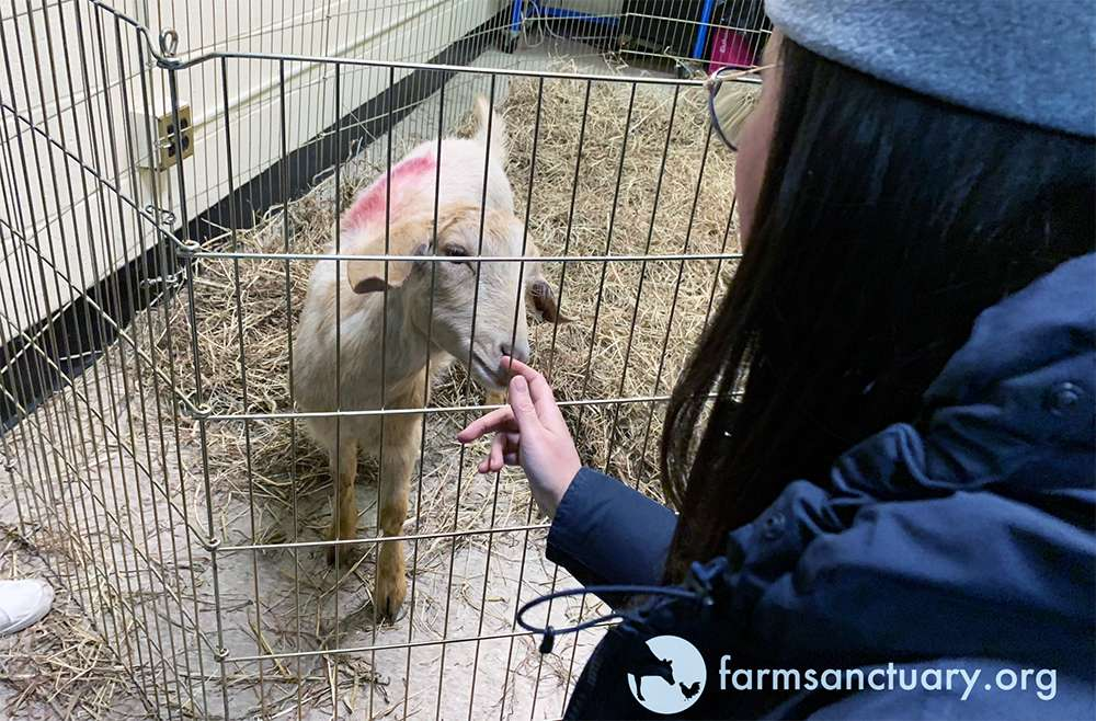 The goat, named Alondra, was described as 'extremely friendly' by Farm Sanctuary staff.