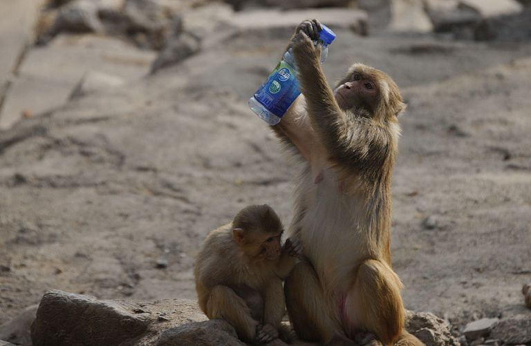 A monkey holds up a bottle for inspection.