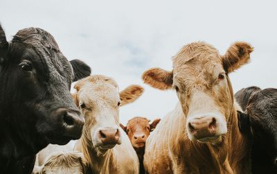 Herd of Cows looking down, directly at the Camera