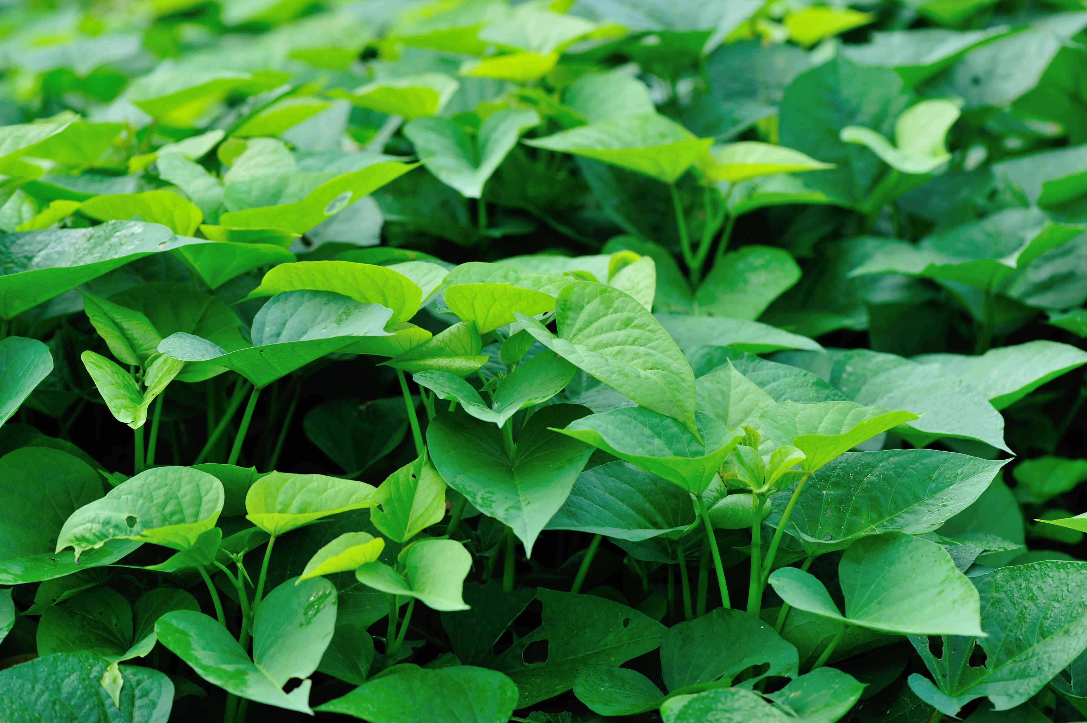 green sweet potato leaves in growth at garden