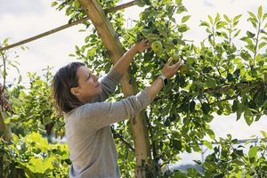 A white woman picking apples off of a tree.