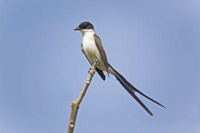 Fork-tailed Flycatcher, Tyrannus savana, perched on branch