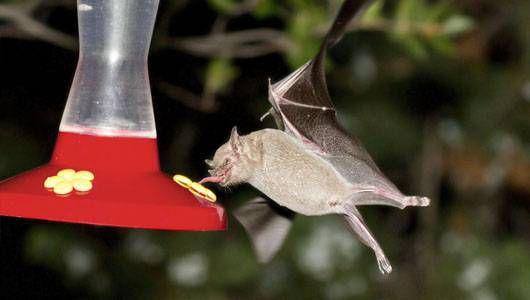 Cómo fotografiar murciélagos en tu patio trasero