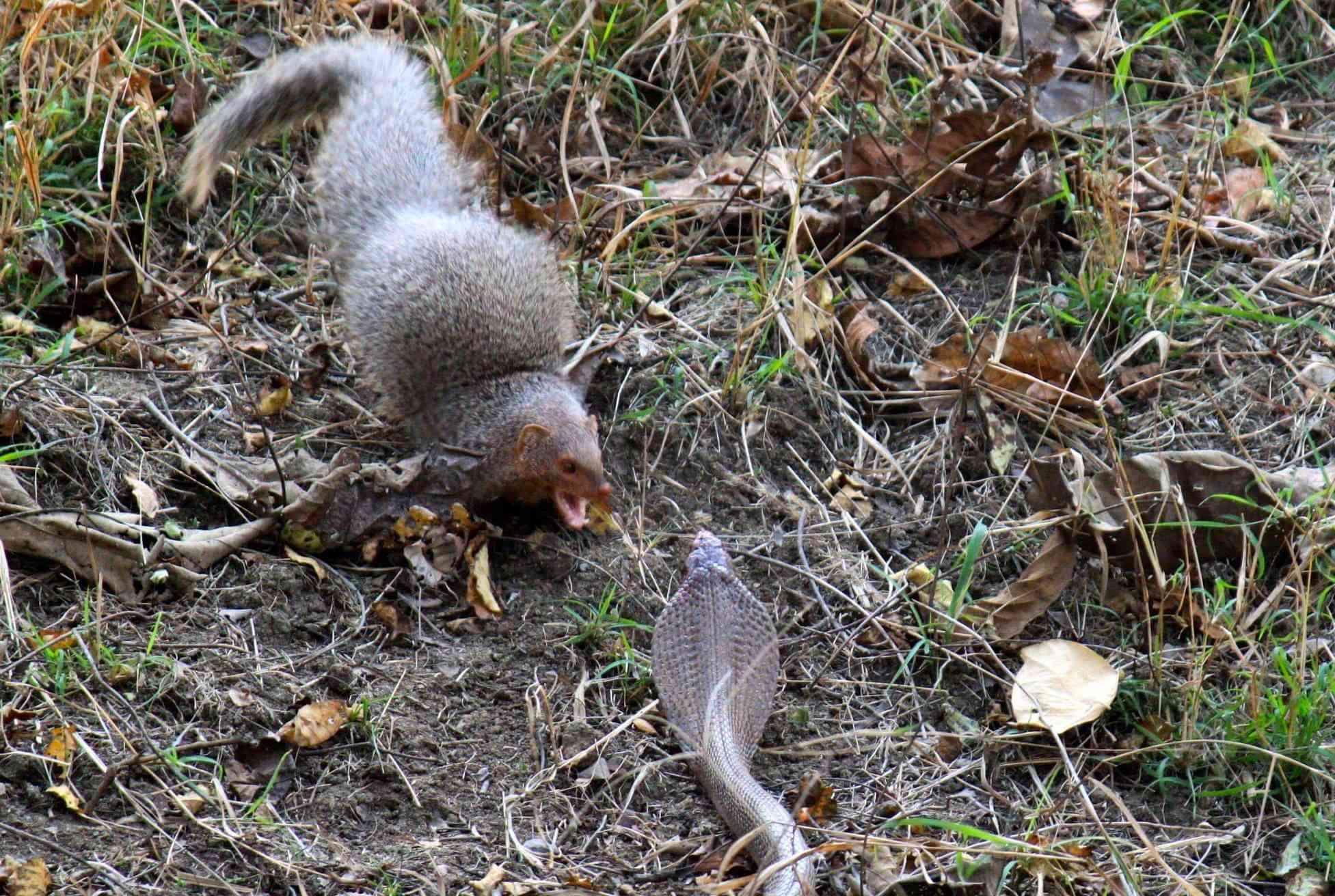A mongoose confronts a cobra.