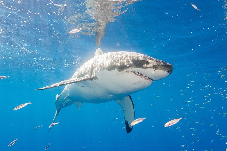 a great white shark in Mexico