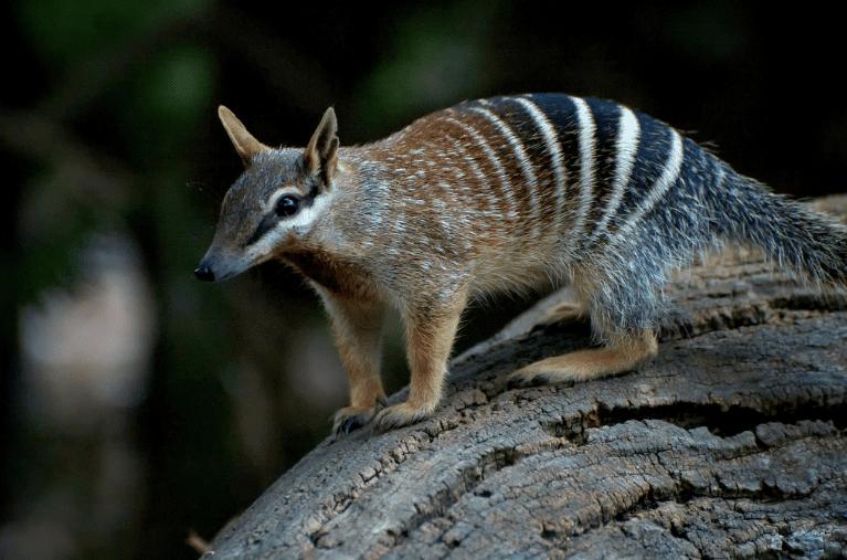 Numbat, Perth Zoo