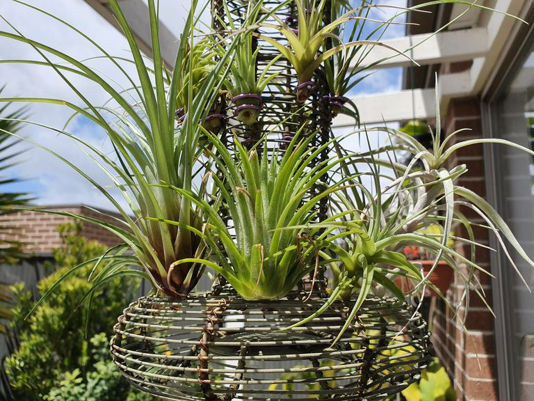 several airplants in a wire planter hanging outside