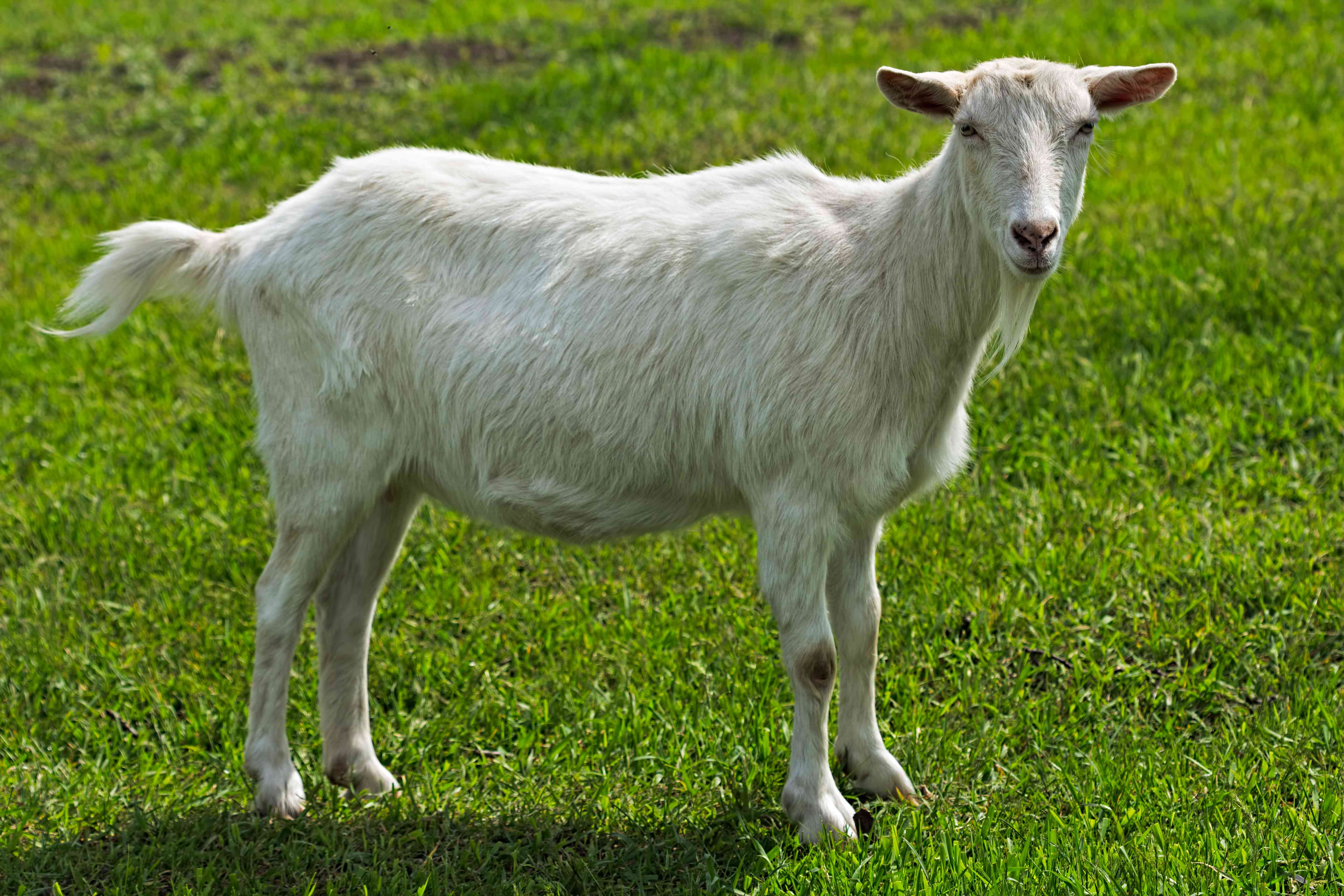 Young Saanen goat standing on green grass