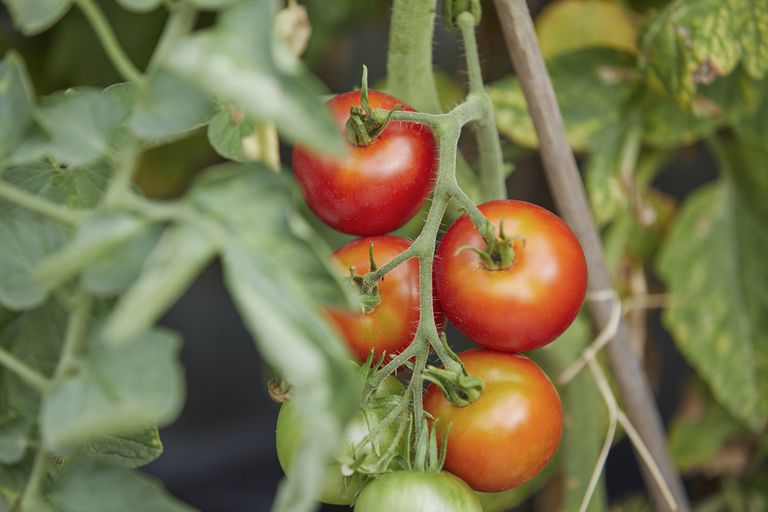 Ripe, fresh red tomatoes growing on vine