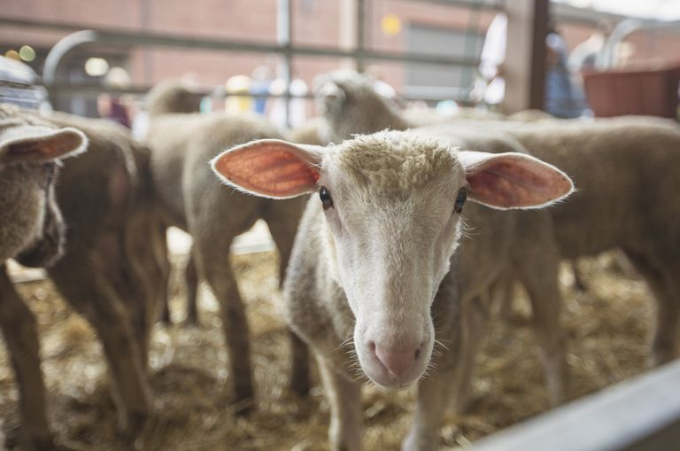 Sheep in pen