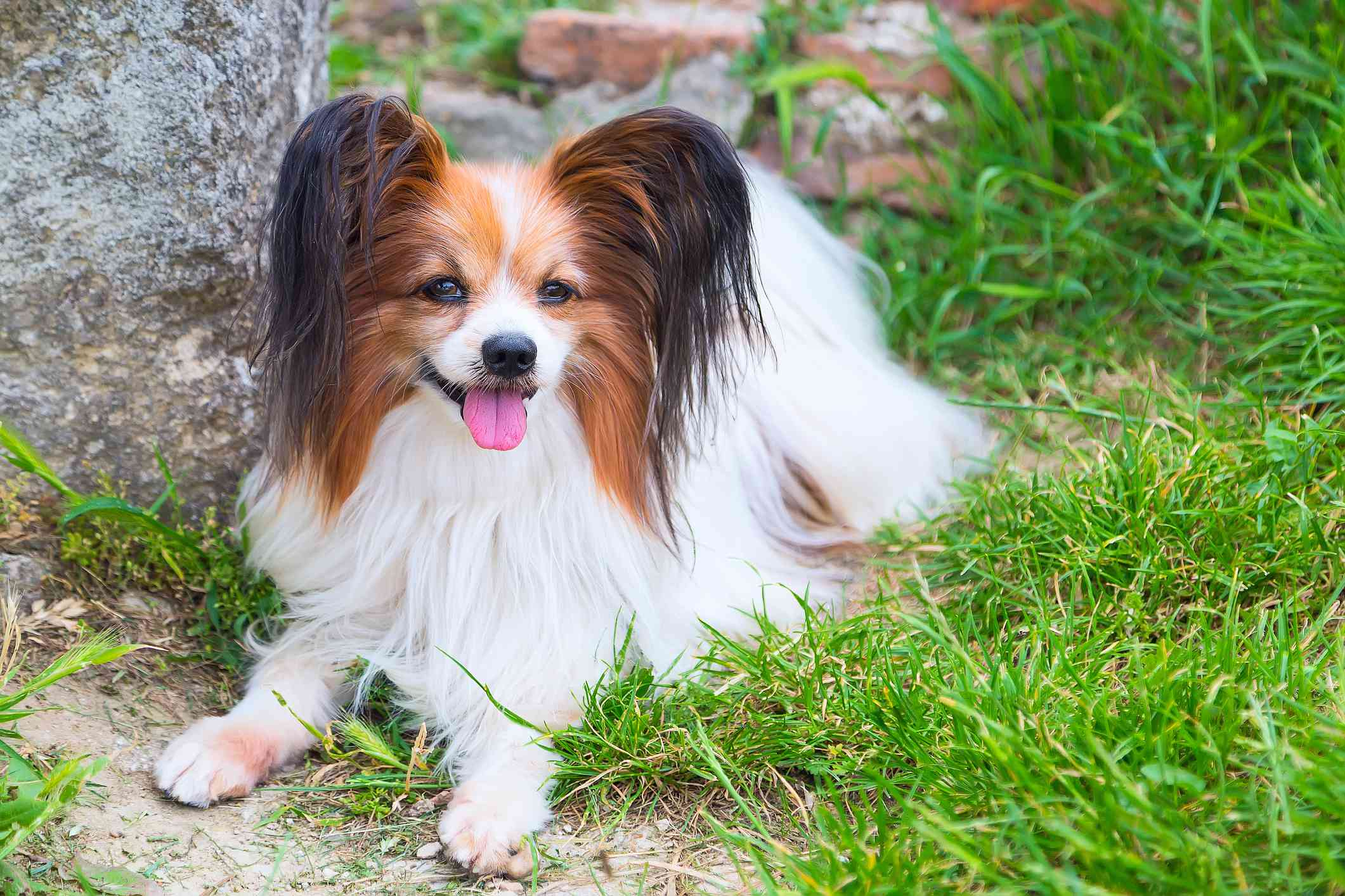 papillon dog with brown and black ears lying in green grass next to stone