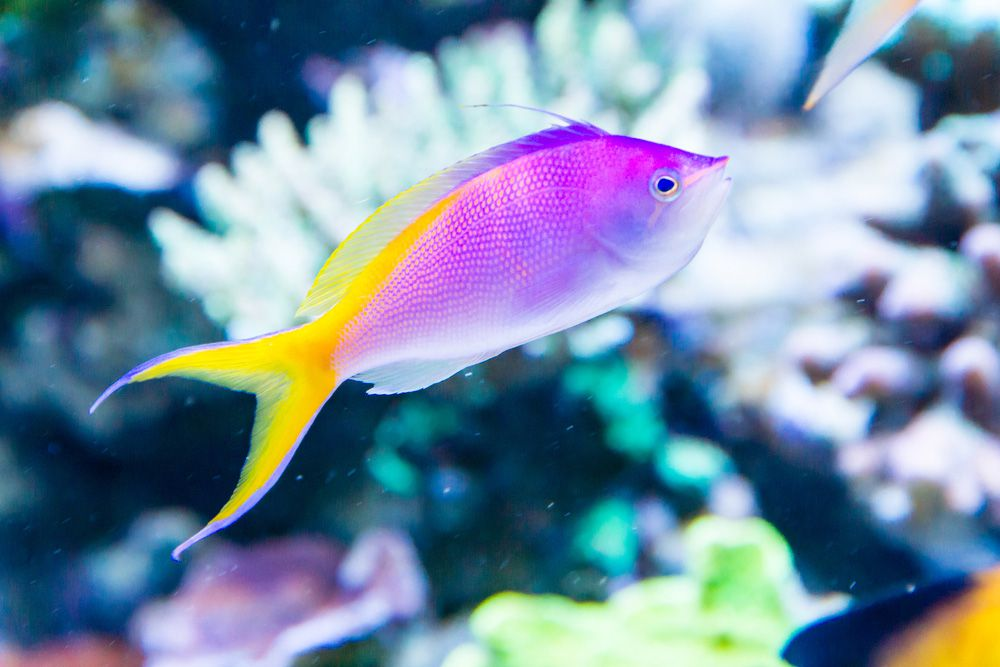A violet and yellow Bartlett's anthias on a reef