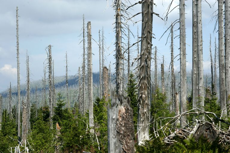 Dead trees on at Lusen Mountain that were killed by acid rain